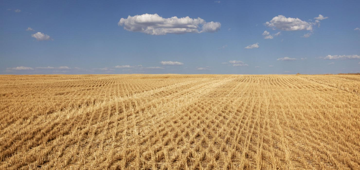 A bright blue sky with sparse clouds above a seemingly endless field of wheat