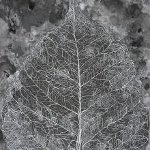 <a href='http://collection.spencerart.ku.edu/eMuseumPlus?service=ExternalInterface&module=collection&objectId=55406&viewType=detailView' target='_blank'><i>Leaf Skeleton</i> by A. Mary Kay</a>