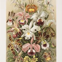 <a href='http://collection.spencerart.ku.edu/eMuseumPlus?service=ExternalInterface&module=collection&objectId=57236&viewType=detailView' target='_blank'><i>Orchids</i> (<i>Orchidae</i>) by Ernst Haeckel</a>